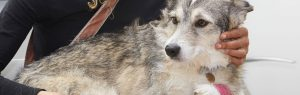 Husky with a bandaged paw