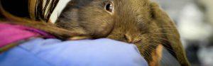 Light brown rabbit at vets