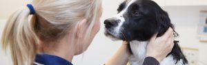 Veterinary nurse with a Labrador